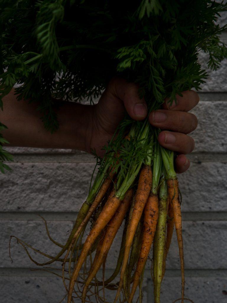 uudensadon porkkana
