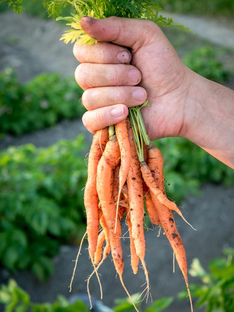 porkkanan kasvatus