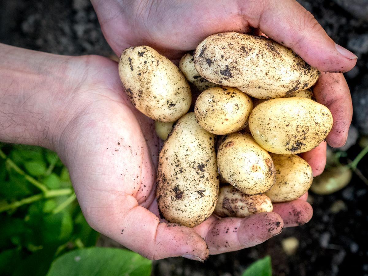 itsekasvatetut perunat