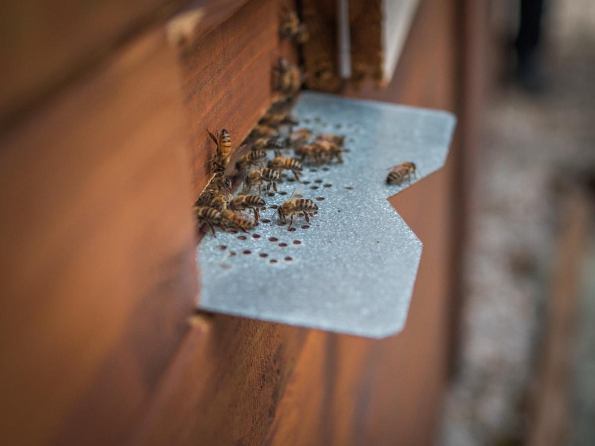 kreikkalaiset ampiaiset